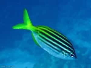 Atypichthys strigatus - Australian Mado