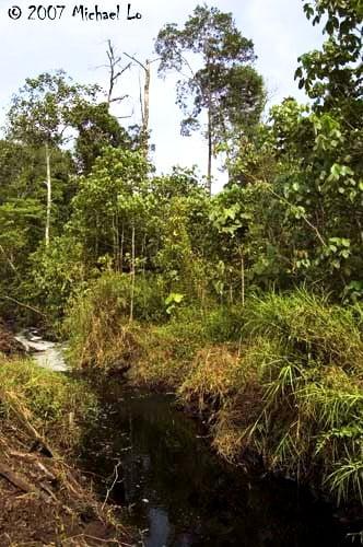 Betta persephone - habitat Johor