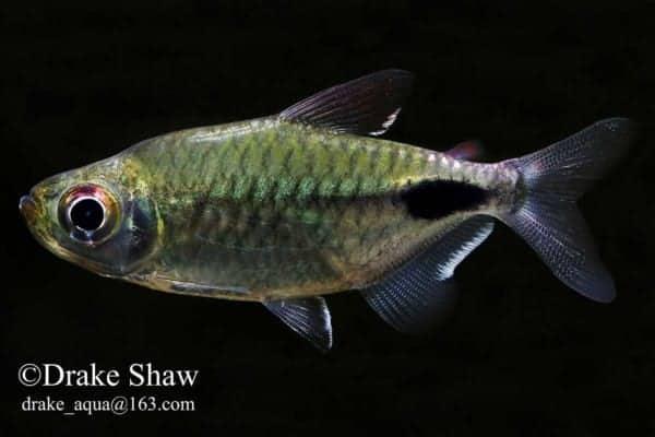 Brachypetersius altus