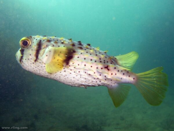 Dicotylichthys punctulatus - Three-Barred Porcupinefish