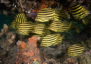 Microcanthus strigatus - Stripey