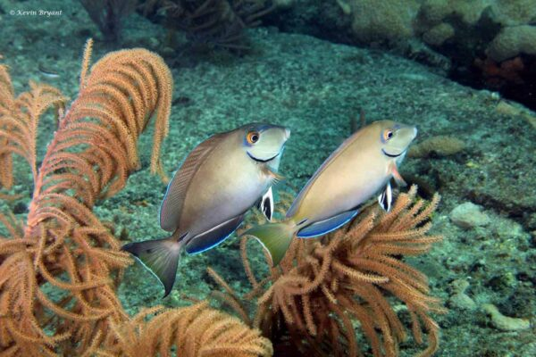 Acanthurus bahianus - Barber Surgeonfish
