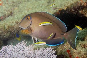 Acanthurus bahianus - Barber Surgeonfish being cleaned