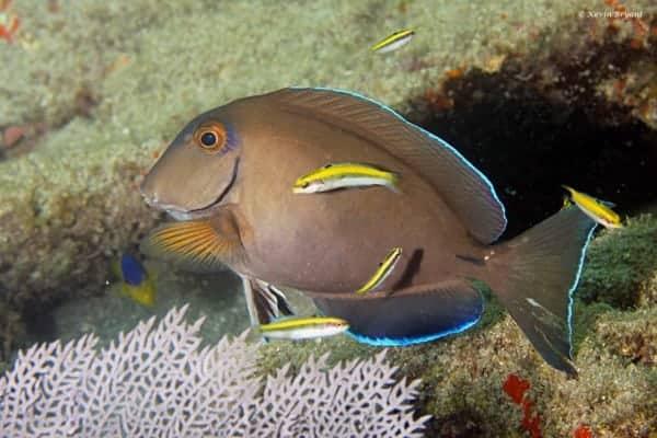 Acanthurus bahianus - Barber Surgeonfish being cleaned