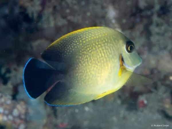 Acanthurus pyroferus - Chocolate Surgeonfish