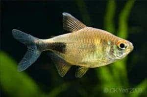 Hemigrammus pulcher - Garnet Tetra
