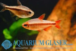 Hyphessobrycon piranga - Male