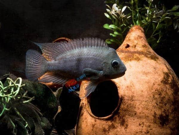 Neetroplus nematopus