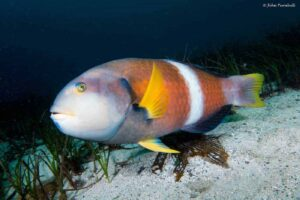 Notolabrus tetricus - Blue-throated Wrasse
