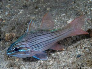 Ostorhinchus multilineatus - Many-lined Cardinalfish