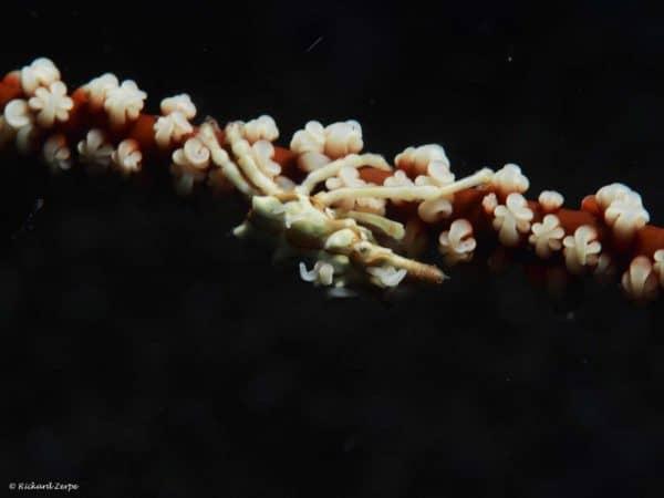 Xenocarcinus-tuberculatus - Whip Coral Spider Crab