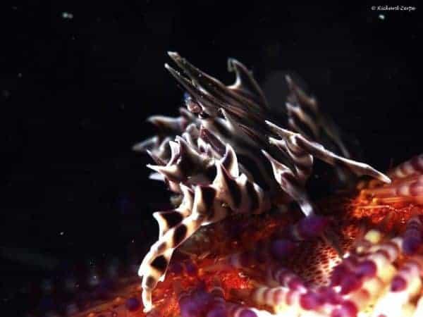 Zebrida adamsii