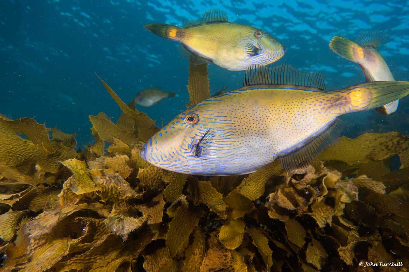 Acanthaluteres brownii - Spiny-tailed Leatherjacket