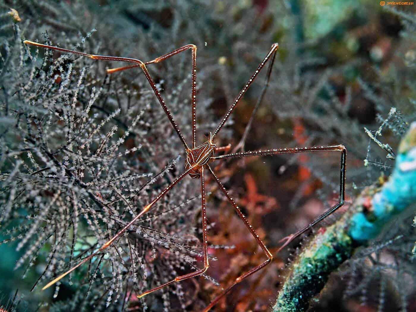 Chirostylus sandyi - Spider Squat Lobster