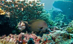 Ctenochaetus striatus - Striated Surgeonfish