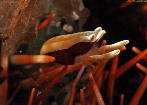 Gnathophylloides mineri - Squat Urchin Shrimp