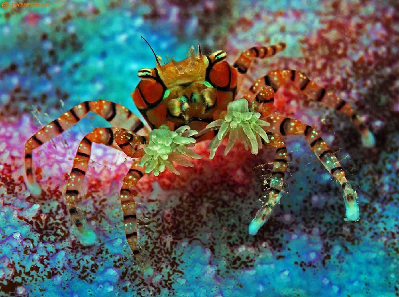 Xanthidae