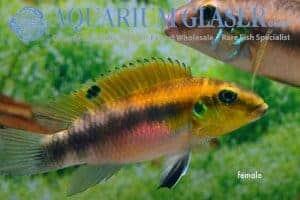 Wallaceochromis rubrolabiatus - Dinkinya female
