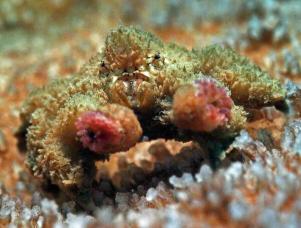 Polydectus cupulifer - Teddy-bear Crab