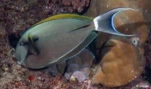 Acanthurus nigricauda - Epaulette Surgeonfish