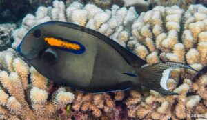 Acanthurus olivaceus - Orangespot Surgeonfish