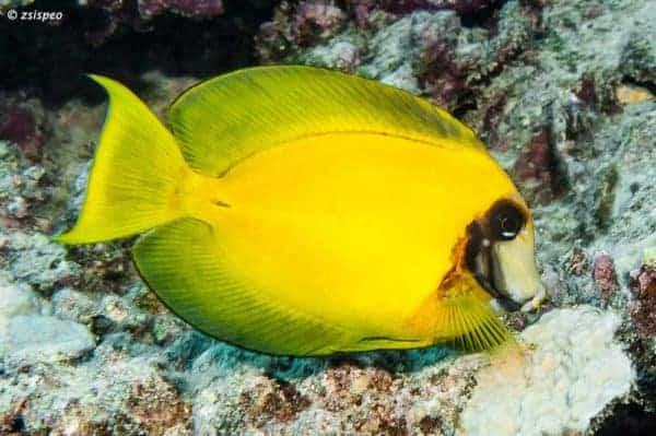 Acanthurus pyroferus - Chocolate Surgeonfish - Sub adult