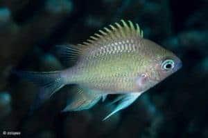 Amblyglyphidodon batunai - Batuna's damselfish