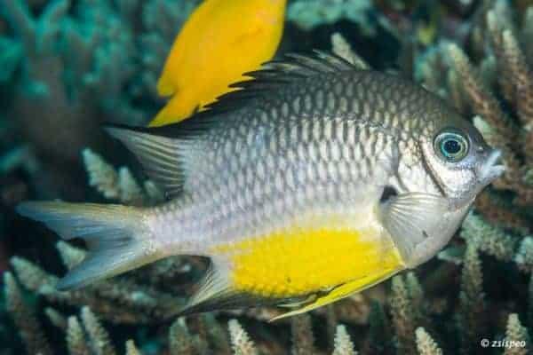 Amblyglyphidodon leucogaster - Yellowbelly Damselfish