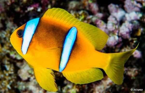 Amphiprion bicinctus - Twoband Anemonefish