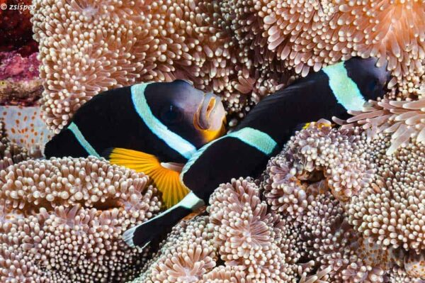 Amphiprion chrysogaster - Mauritian Anemonefish - Pair