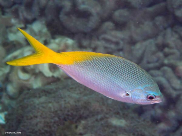 Caesio teres - Yellow and Blueback Fusilier