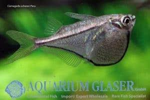 Carnegiella schereri - Dwarf Hatchetfish - Peru