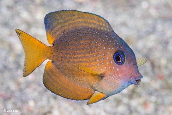 Ctenochaetus binotatus - Twospot Surgeonfish - Juvenile