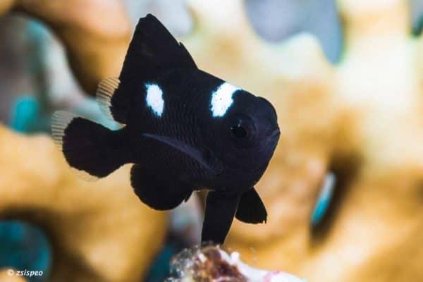 Dascyllus trimaculatus - Threespot Dascyllus - Juvenile