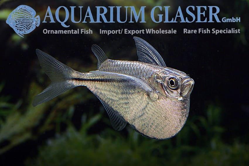 Gasteropelecus sternicla - River Hatchetfish - Male
