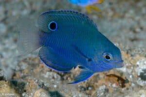 Pomacentrus nagasakiensis - Nagasaki Damsel - Juvenile