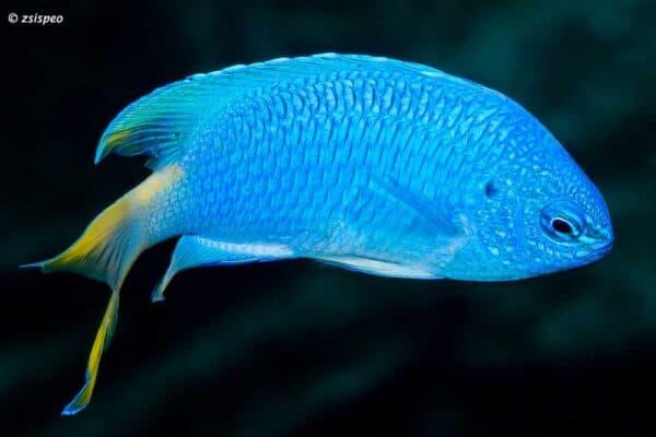 Pomacentrus pavo - Sapphire Damsel