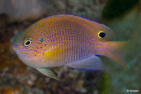 Pomacentrus vaiuli - Ocellate Damselfish