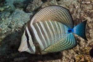 Zebrasoma desjardinii - Indian Sail-fin Surgeonfish