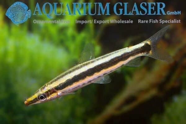 Anostomus ternetzi - Ternetzi Headstander - Female