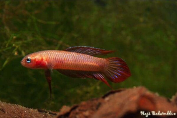 Betta burdigala - Bangka Island - male