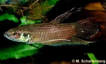Betta fusca - male
