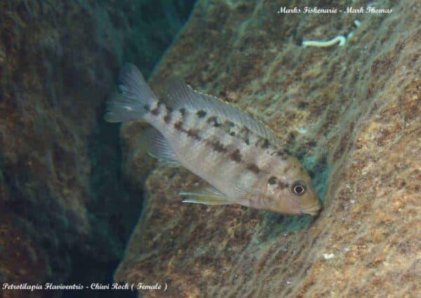 Petrotilapia flaviventris - Chiwi Rock - Female