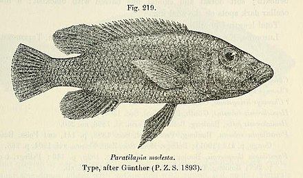 Stigmatochromis modestus drawing from the original description