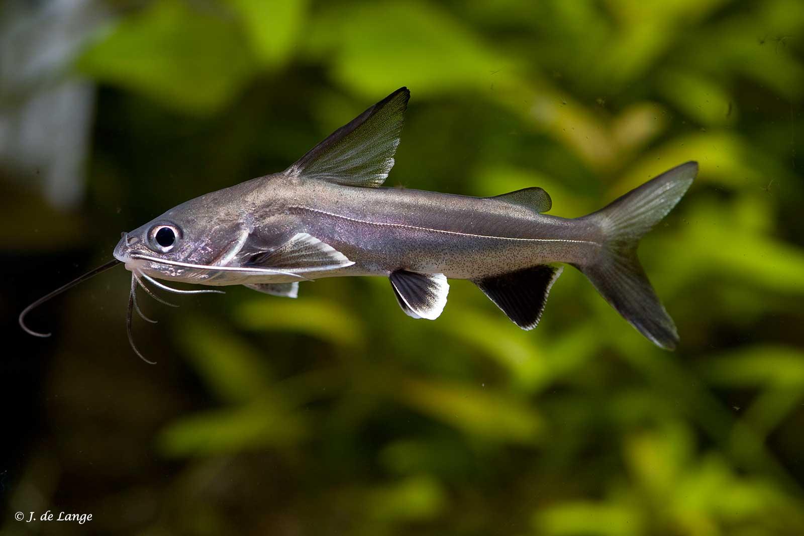 Ariopsis seemanni - Tete Sea Catfish