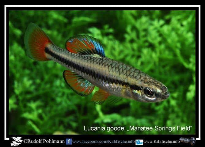 Lucania goodei - Manatee Springs Field - Male