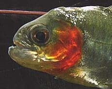 General information about Piranha's 2