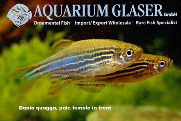 Danio quagga - pair - female in the front