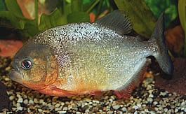 General information about Piranha's 6