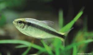 Hyphessobrycon cyanotaenia - Lapis Tetra
